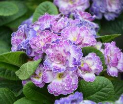 Primel Gefüllte Blüten