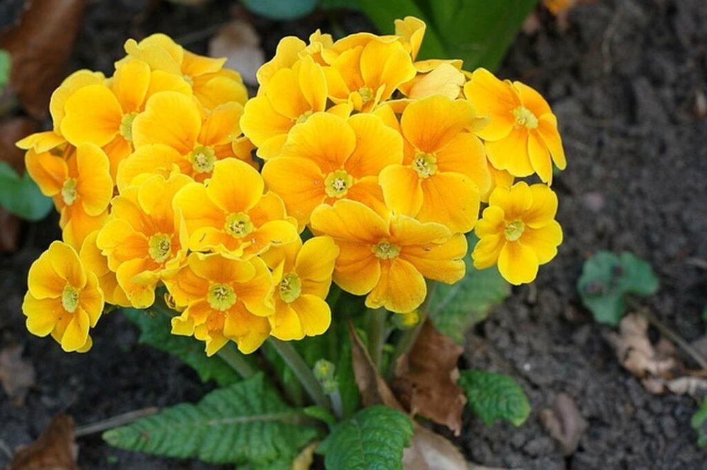 Primel gelb im Garten
