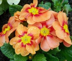 Primel Orange 1