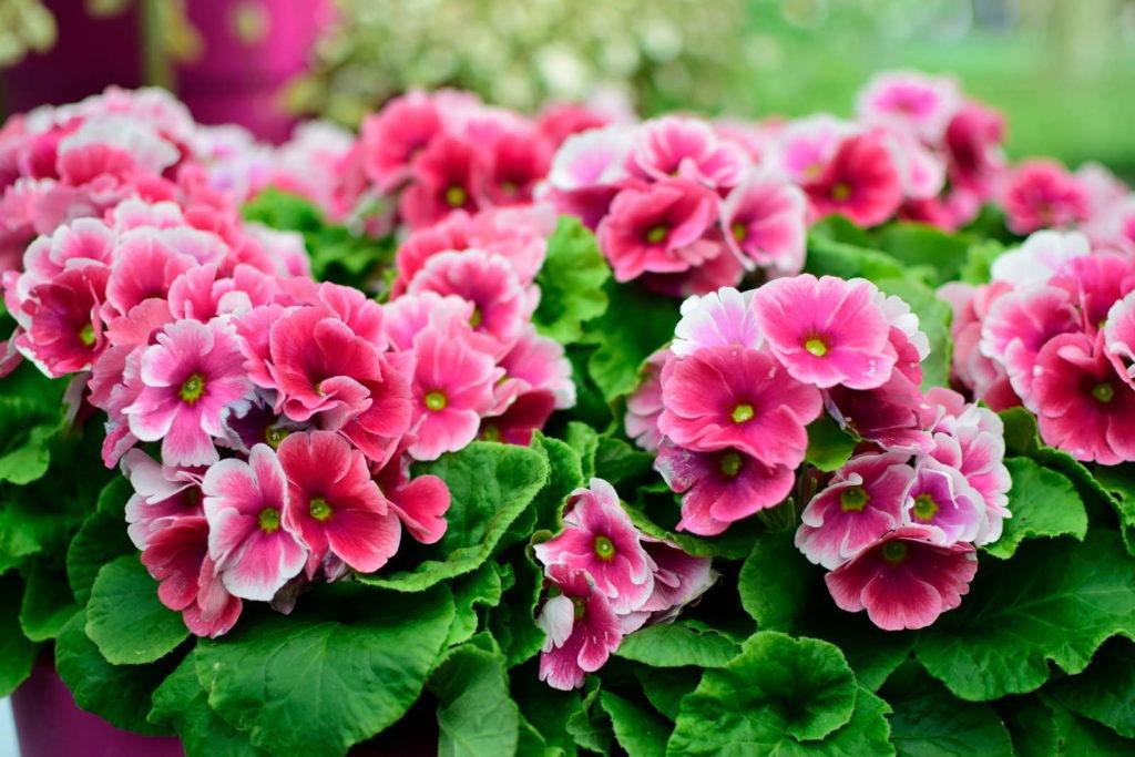 Rosa Primeln im Garten