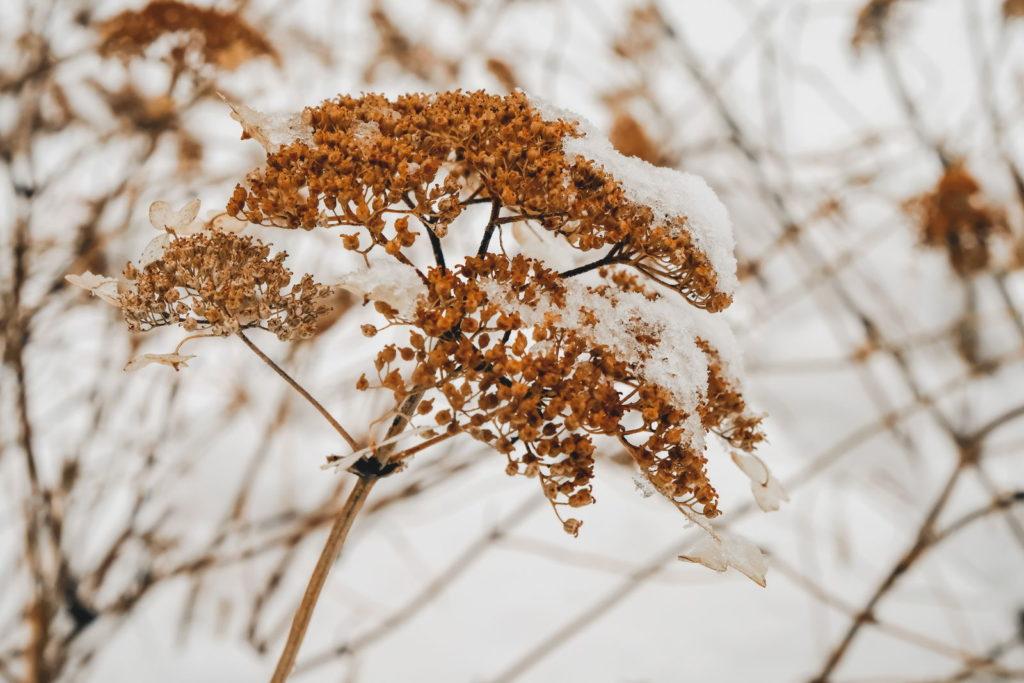 Vertrocknete Hortensienblüte im Schnee