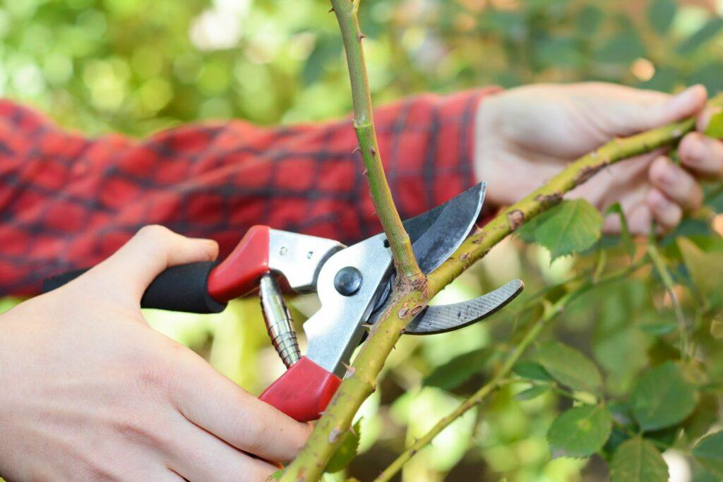 Kletterrose wird mit Gartenschere geschnitten