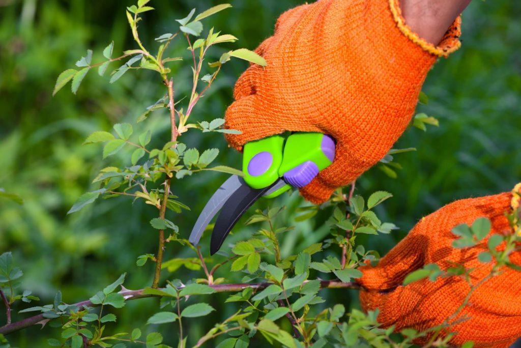 Hand mit Handschuhen schneidet Rose zurück