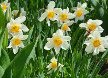 Narzissen Mit Weißen Blüten