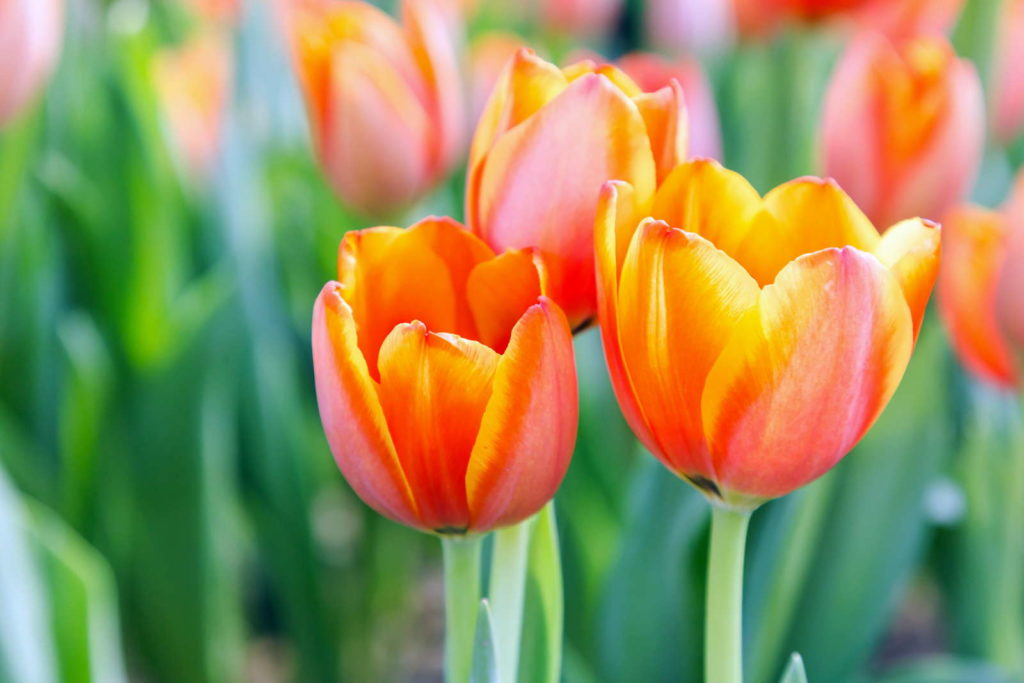 orange-rote Tulpen nah im Garten