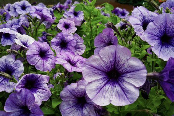 Petunien: Pflanzen, pflegen & die besten Sorten