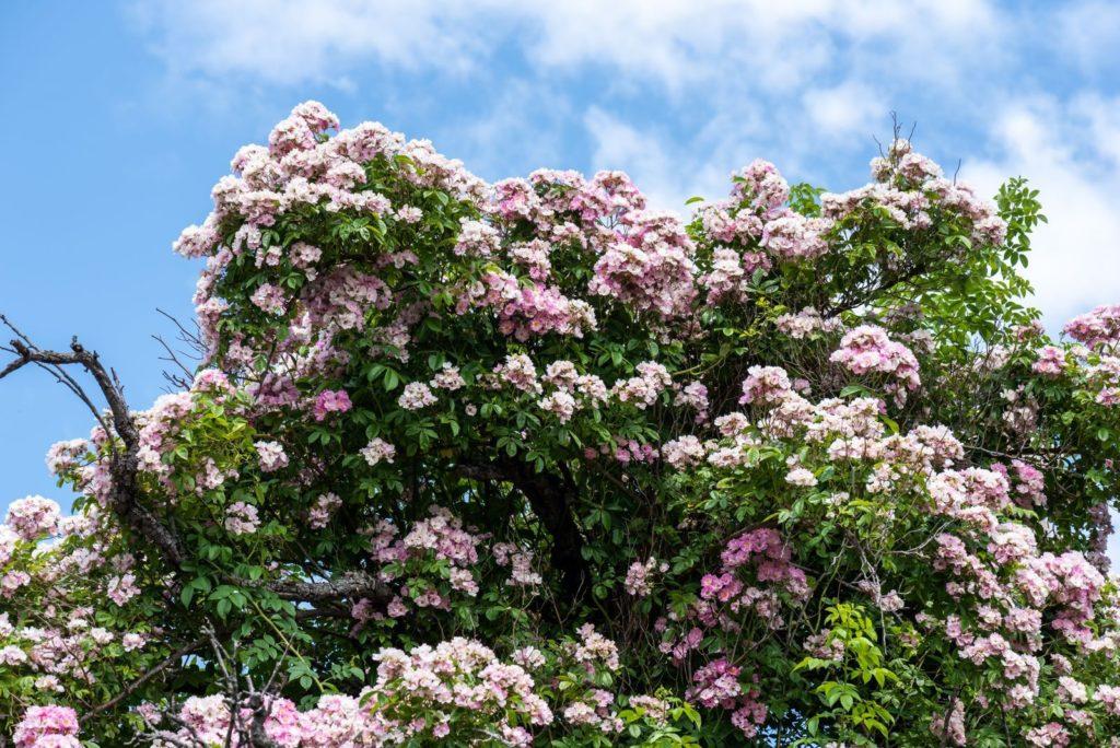 Rambler-Rosenstrauch mit rosa Blüten