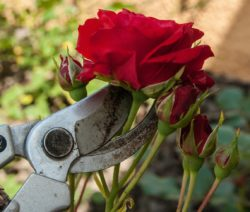 Rose Schneiden Kletterrose