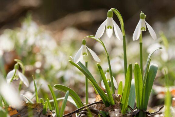 Schneeglöckchen pflanzen: Tipps vom Experten