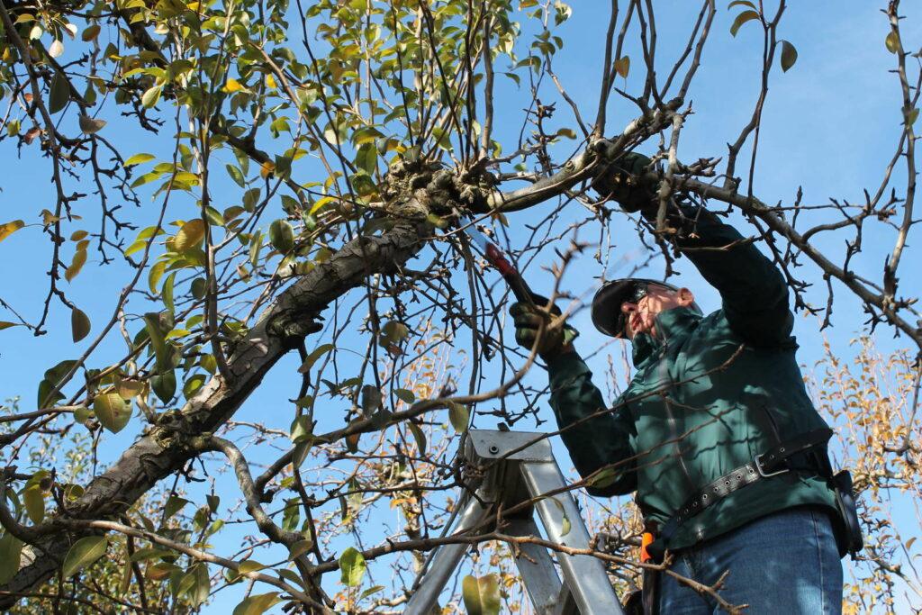 Birnbaum schneiden mann auf LEiter