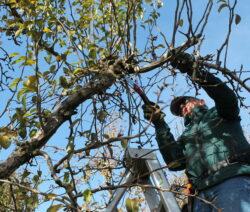 1 Birnbaum Schneiden
