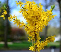 Forsythie Gelbe Blüten