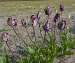 1 Tulpen Im Feld