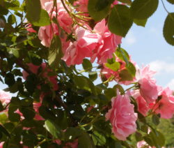 11 Rosenblüten
