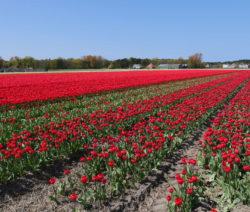 11 Tulpen Im Feld