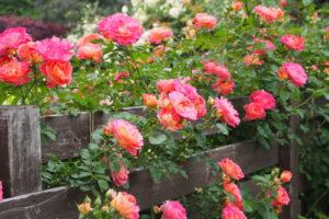 13 Rose Zaun Kletterrose
