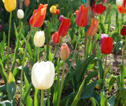 13 Tulpen Im Beet