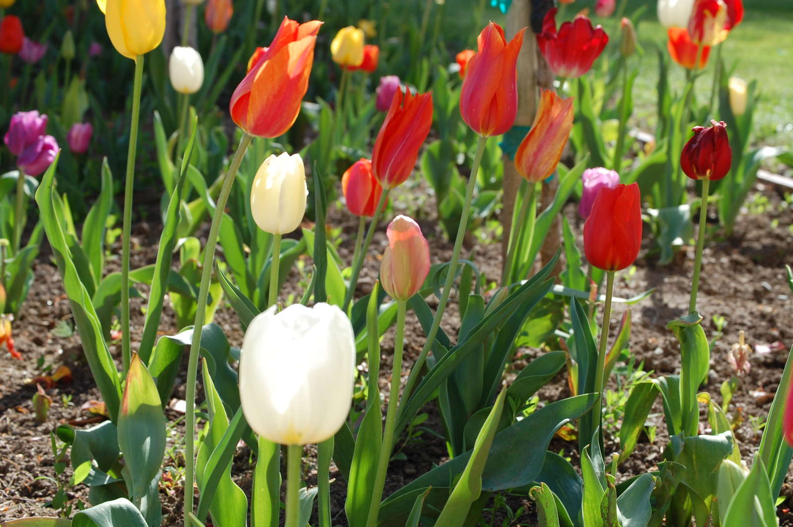 tulpen pflanzen tulpenzwiebeln im eigenen garten anbauen plantura. Black Bedroom Furniture Sets. Home Design Ideas