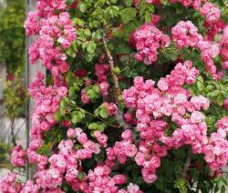 Rosa Kletterrose