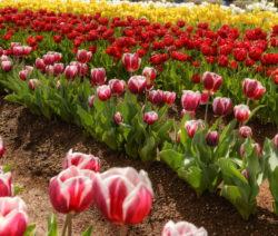 14 Tulpen Im Feld