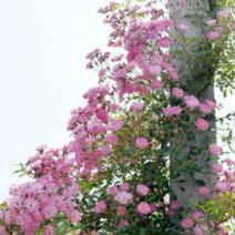 Rosa Kletterrose An Säule