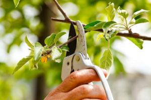 Pflaumenbaum Wird Im Garten Geschnitten