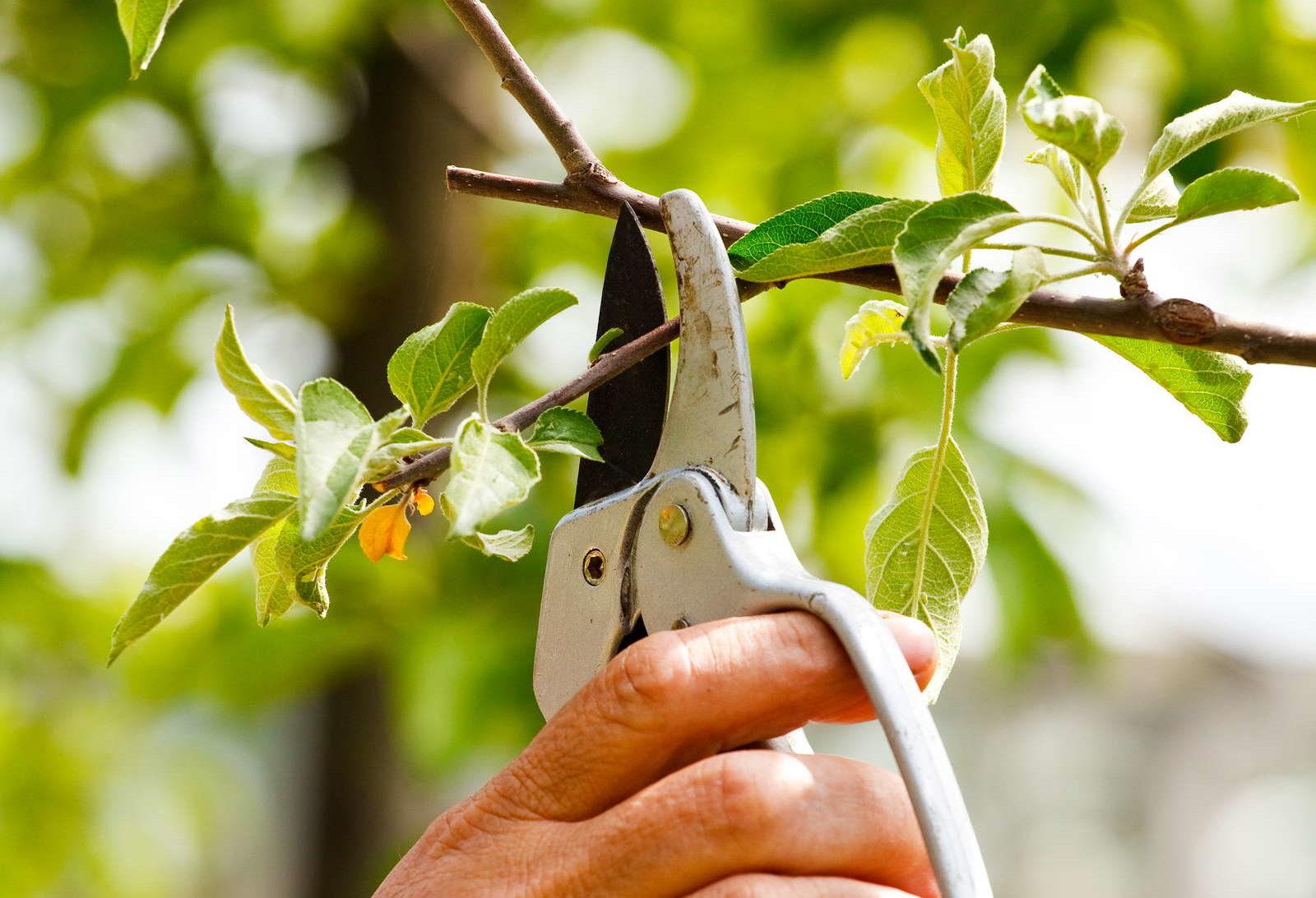 Berühmt Pflaumenbaum schneiden: Tipps vom Experten - Plantura &WB_19