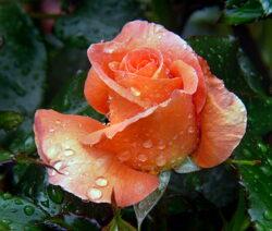 17 Rose Blüte Nass
