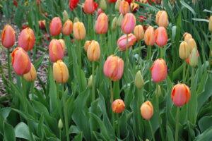 Tulpen Im Beet Gechlossene Blüten