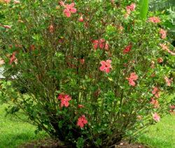 Hibiscus Rosa-sinensis Strauch Mit Roten Blüten