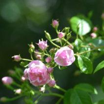 Rose Blütenknospen