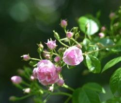 18 Rose Blütenknospen
