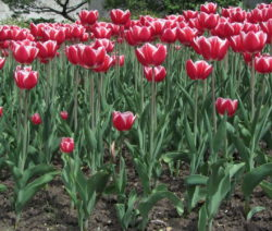 18 Tulpen Im Beet