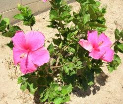 Hibiscus Rosa-sinensis Rosa Blüten
