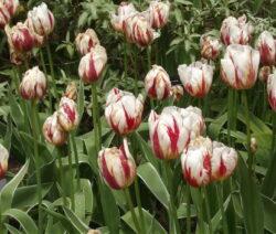 19 Tulpen Verblüht