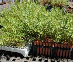 Afrikanische Olive In Töpfen