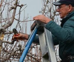 2 Birnbaum Schneiden
