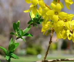 Forsythie Gelbe Blüten Blätter