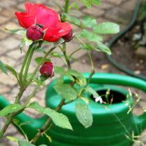 Rose Gießkanne Im Garten