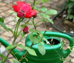 2 Rose Gießkanne