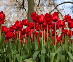 2 Tulpen Rot Im Beet