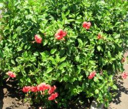 20 Hibiscus Rosa-sinensis