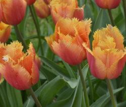 Tulpe Orange