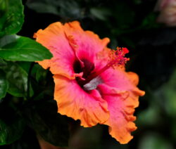 Hibiscus Rosa-sinensis Blüte Orange Rot