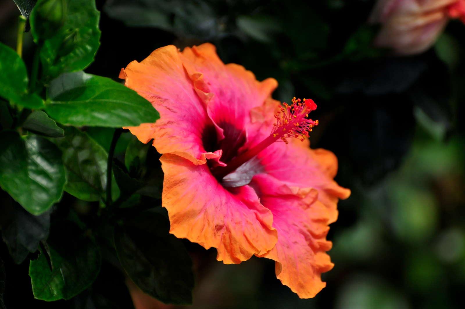 hibiskus berwintern pflanzzeit idealer standort plantura. Black Bedroom Furniture Sets. Home Design Ideas
