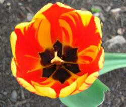 21 Tulpe Blüte