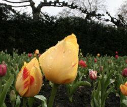 23 Tulpe Gießen