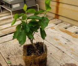 Hibiskus Jungpflanze