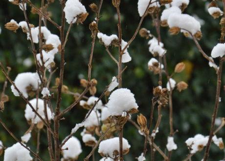 Hibiskus Winter Schnee
