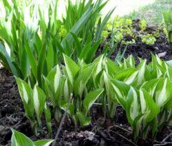28 Tulpen Im Beet